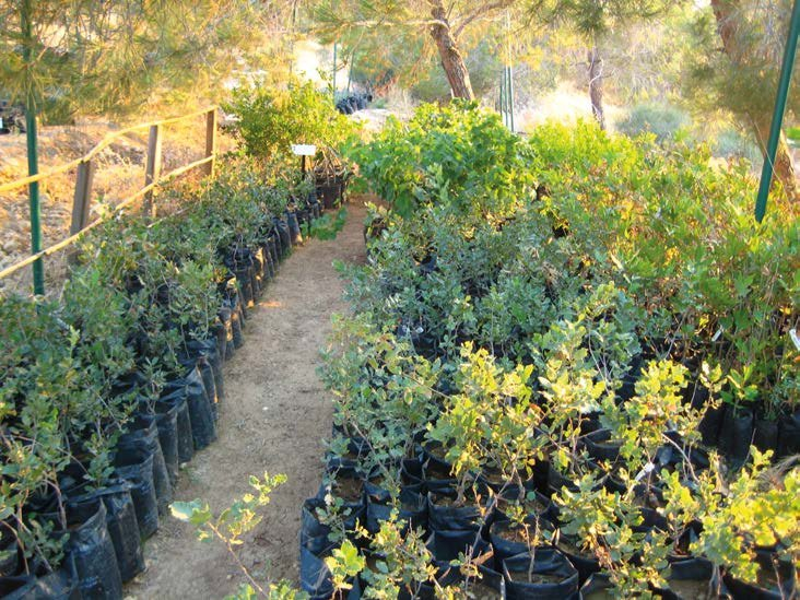 Collection-of-native-trees-in-the-nursery-of-the-Royal-Botanic-Garden-Jordan-Photo