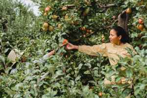 people harvesting apples