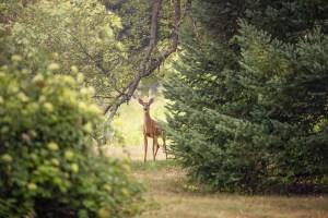 Roe Deer in a distance