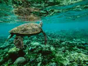 photo of a turtle swimming underwater